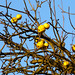 Wild yellow apples