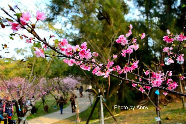麗池櫻花26