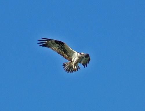 birds backyard animalplanet osprey kentwa featheryfriday animaladdiction shesnuckinfuts