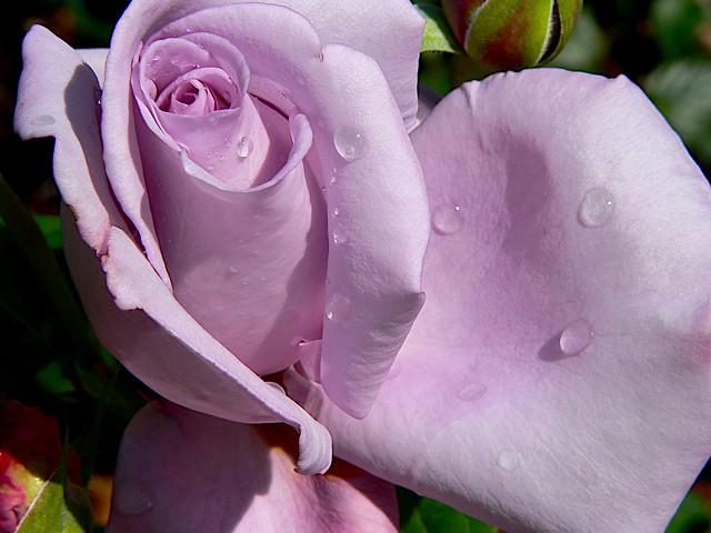 Blue Lady Rose Flickr Photo Sharing