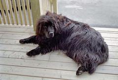 animal, dog, pet, mammal, portuguese water dog, newfoundland,