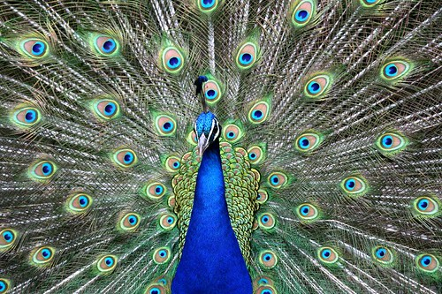 Peacock - leeds castle