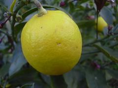 citrus, flower, lemon, yellow, meyer lemon, yuzu, fruit, sweet lemon, bitter orange, citron, mandarin orange,