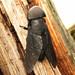 Tabanus atratus male by Sean McCann (ibycter.com)