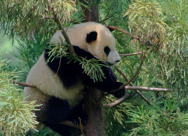 Tai Shan National Zoo S Panda Cub At 1 Year Old Flickr
