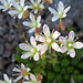 Saxifrages - Photo (c) pfly, some rights reserved (CC BY-SA)