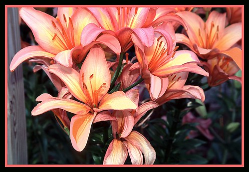 Church Lilies - 8