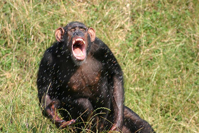 Chimpanzee in the spray