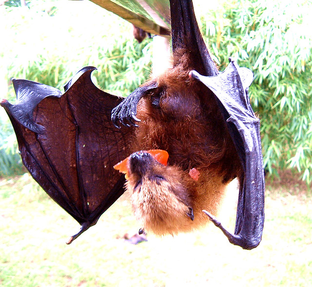 rodrigues fruit bat is a tomato a fruit or a vegetable