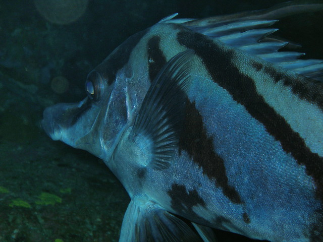 Long nose bore fish flickr photo sharing for Big nose fish