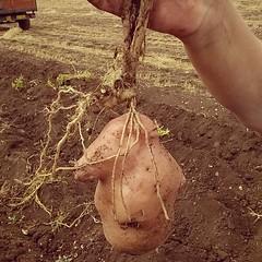 #patate #navelli #abruzzo #laquila #italy #agricoltura #coltivazione #campo