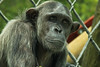 Chimpanzee at Monkey World. Taken on 21-07-2012 - 14_36_01.jpg by atthezoouk