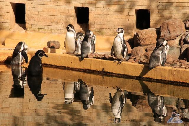 Eisbär Fiete im Zoo Rostock 06.09.2015  0277