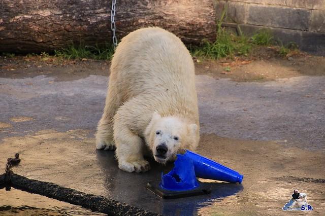 Eisbär Fiete im Zoo Rostock 26.09.2015   0231