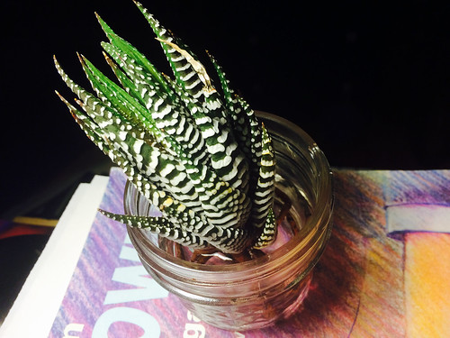 Striped Aloe Vera Orphan (October 5 2014)