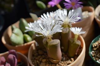 DSC_0373 Ophthalmophyllum triebneri オフタルモフィルム 風琴玉(=Conophytum friedrichiae)
