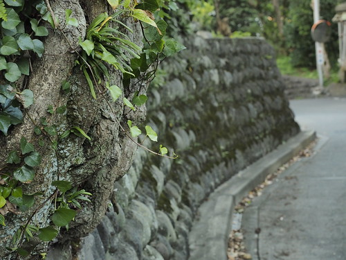 石垣に根をはる樹