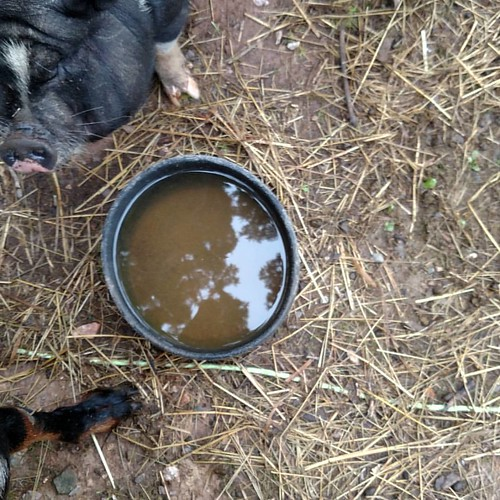 A black rubber two quart feed pan full of water. Tethys the pig side eyes it.