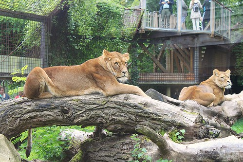 two lions lying on tree