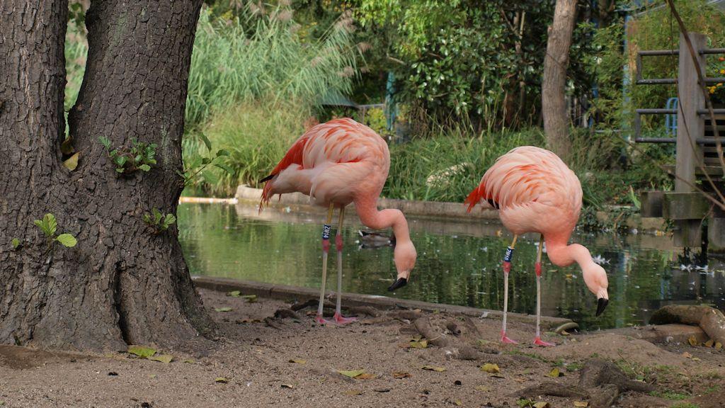 Luisenpark Mannheim: Flamingos