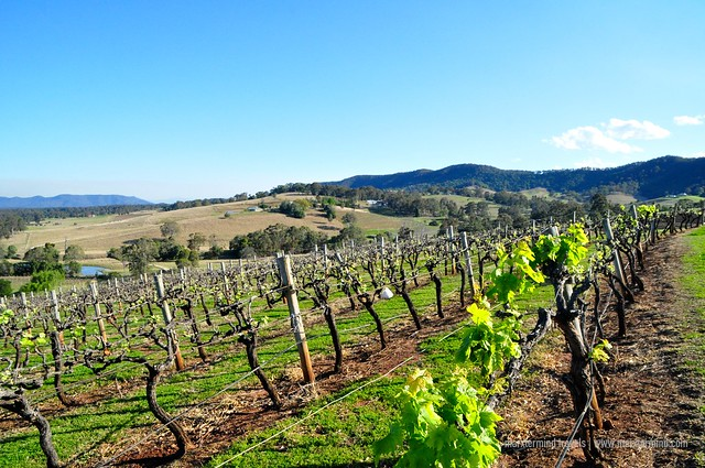 Vineyard at Hunter Valley Region Australia