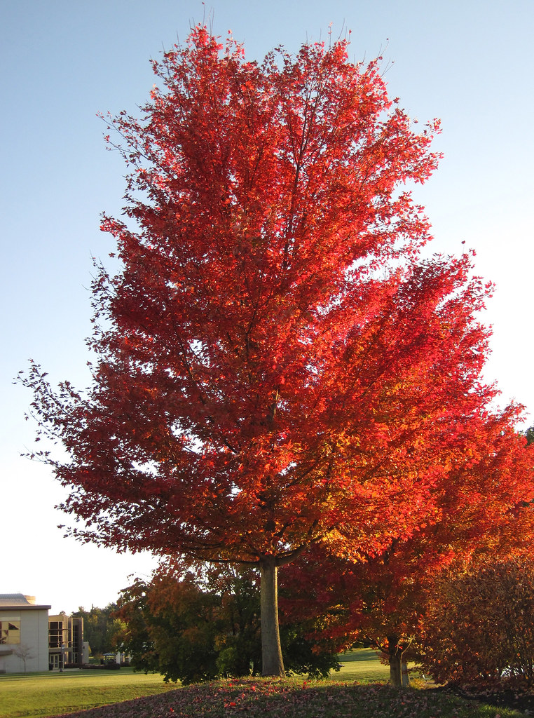 Which Trees Are Used To Make Paper: Acer Saccharinum (silver Maple Tree In Fall Colors) (Newar