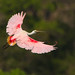 Colhereiro / Roseate spoonbill by António Guerra