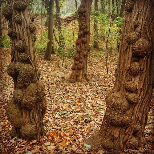 Drie broertjes. Van de week in 't bos (toen ik nog uit mijne luie vakantiezetel kwam om te bewegen). #tree #latergram #autumnlove 🍂