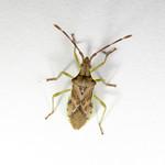 boróka-karimáspoloska - Gonocerus juniperi