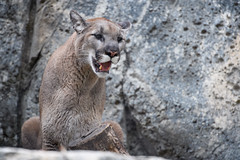 Cougar Looking to the Side