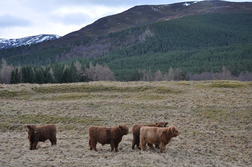 Highland Coo'letts