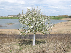 Flowering tree in corrugated plastic in a rehabbed gravel mine.