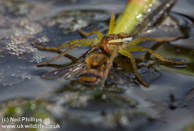 raft spider eating a bee-2