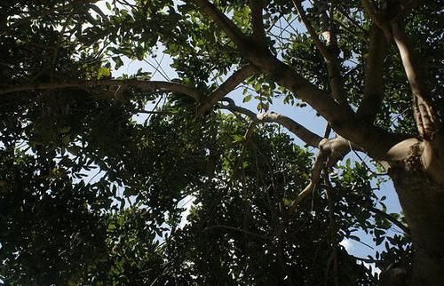 pohon siliwangi