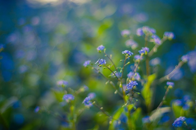 forget me not ... blue