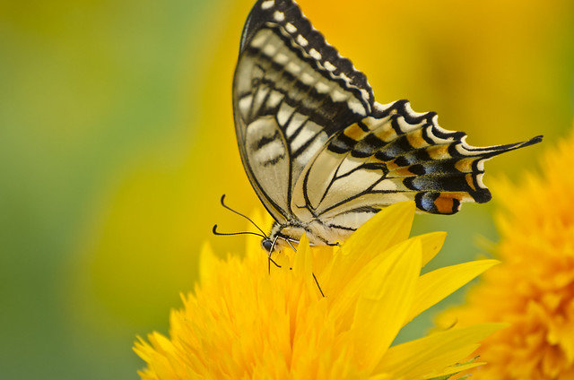 Papilio machaon/黃鳳蝶/キアゲハ