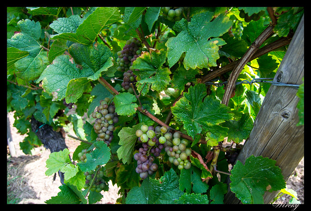 Parra de uvas