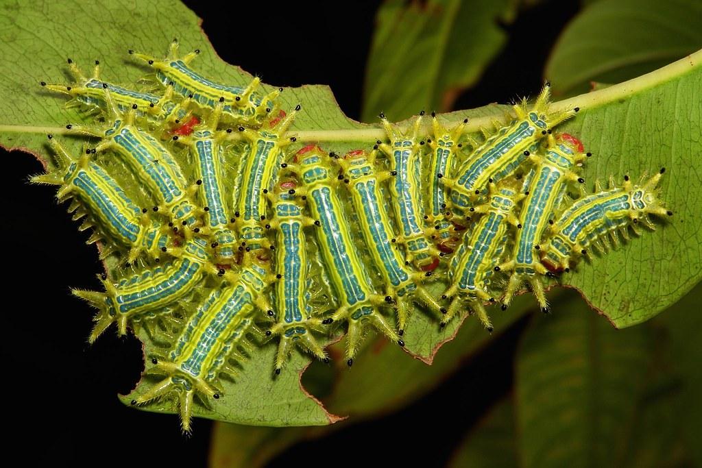 "Mid-instar Stinging Nettle Slug Caterpillars (Cup Moths, Limacodidae) ""Carrot Top"""