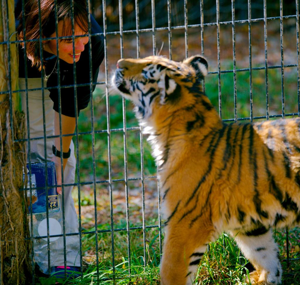 Tiger_20