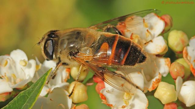 Eristalis tenax · Éristale gluante · Mistbiene (Scheinbienen-Keilfleckschwebfliege) III