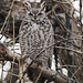 Great Horned Owl by guillemot13