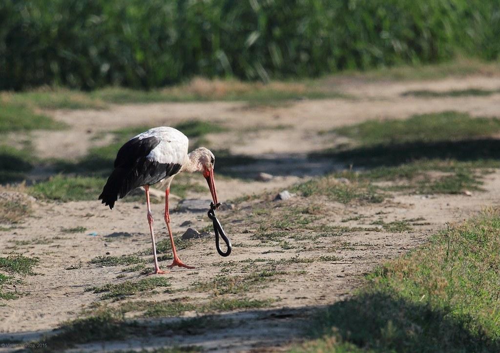 Stork with snake