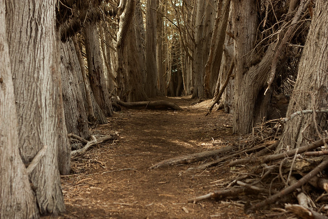 Hallway of Trees in San Simeon