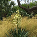 Soft Leaf Yucca and Bamboo Muhly