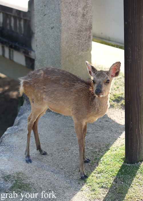 Baby deer on Miyajima Island