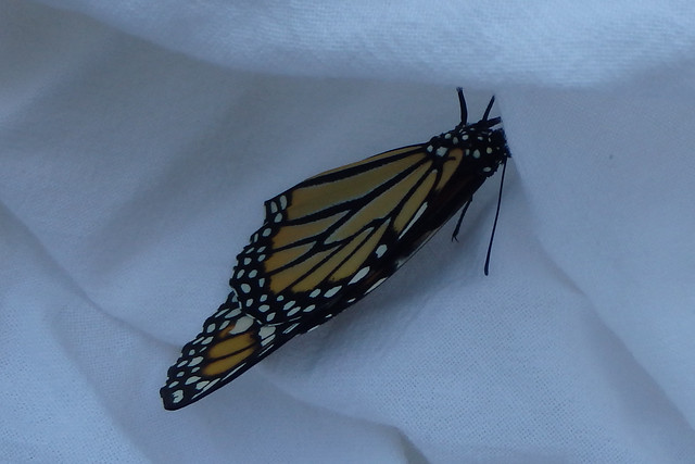 monarch lying on its side on a towel