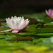 water lily by Galerie-EF