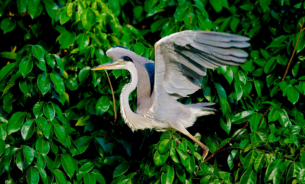 Cocoi Heron (Ardea cocoi)_44