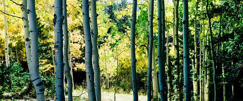 abstract tree fall texture rio forest landscape grande us colorado unitedstates outdoor united pass states aspen cumbres antonito