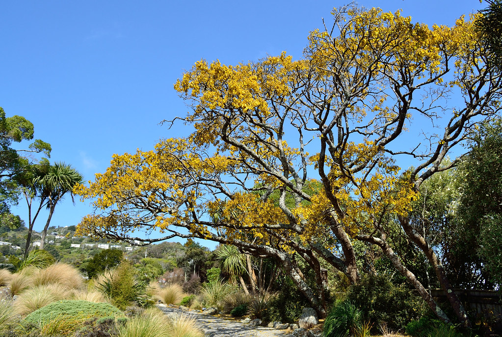 Kowhai in bloom